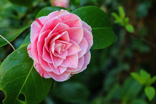 Camelia, Flower, Shrub, Nature, Spring, Garden, Pink