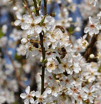 Honey Bees, Hawthorn, Flowers, Spring