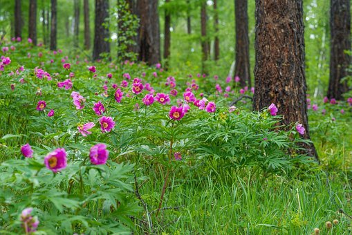 Flowers, Peony, Larch Forests, June, Bogart Village