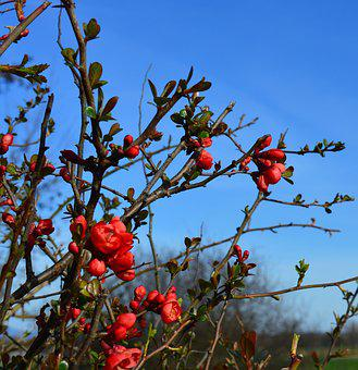 Ornamental Quince, Japanese Ornamental Quince, Bush