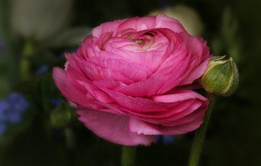 Nature, Flowers, Ranunculus, Pink, Spring