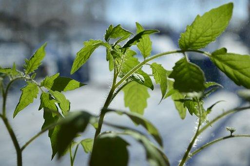 Seedling, Spring, Greens, Closeup, Plant, Green, Sheet