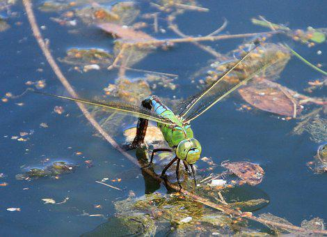 Dragonfly, Water, Pond, Close, Insect, Lake, Animal
