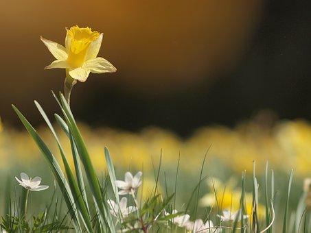 Narcissus, Spring, Yellow, Narcissus Pseudonarcissus