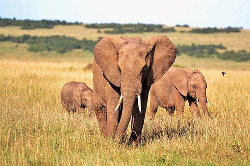 Animals, Elephant, Elephants, Kenya, Tusks, Wild Animal