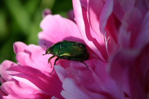Beetle, Nature, Animal, Aurata, Bugs, Rose Beetle