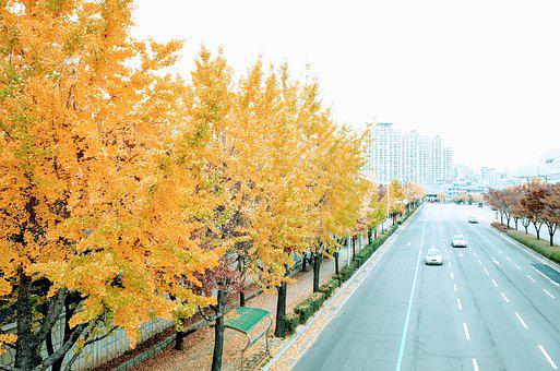 Autumn, Ginkgo, Tree, Yellow