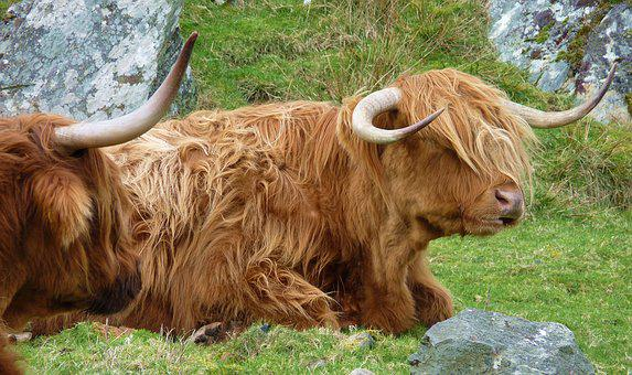 Highlandrind, Animal, Cow, Beef, Cows, Agriculture