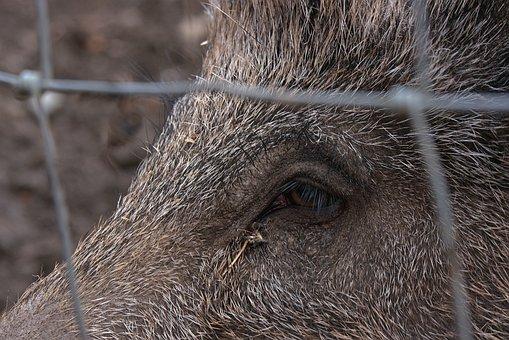 Wild Boar, Schwarzkittel, Berserk Eye, Animal