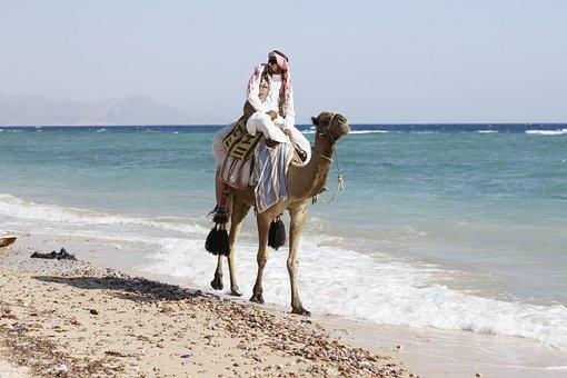 Animal, Arabian Camel, Camel, Local, Office People