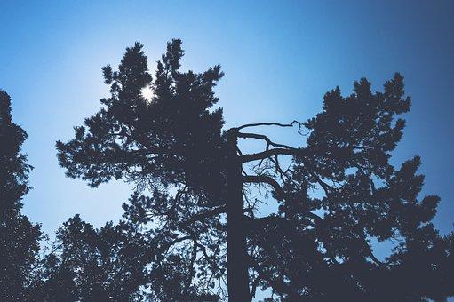 Backlit, Branch, Conifer, Dawn, Evergreen, Fog