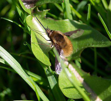 Pollinator, Diptera, Great Bombyle, Insect, Spring