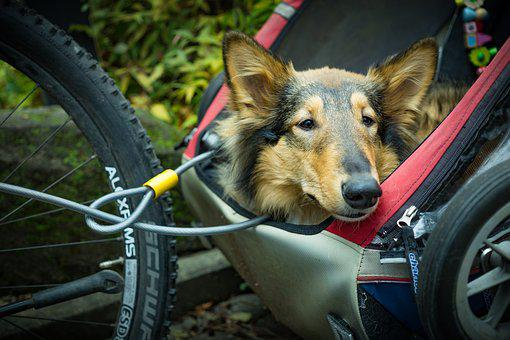 Alternative Transportation, Bicycle Trailer, Dog, Pet
