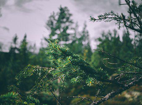 Blur, Branch, Bright, Close-up, Conifers, Environment
