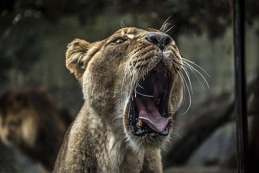 Animal, Cat, Cute, Danger, Dog, Eye, Fur, Hunter, Lion