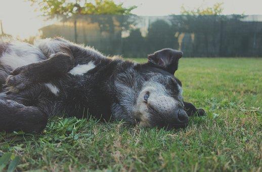 Animal, Canine, Cute, Dog, Domestic, Field, Fur, Grass