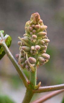 Flower Spike, Japanese, Chestnut, Tree, Shrub, Spring