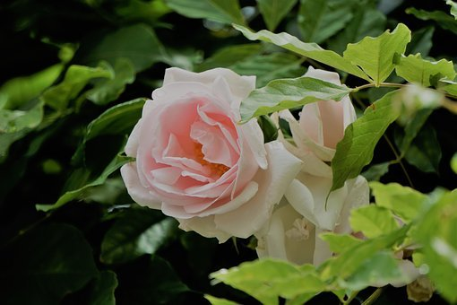 Blanche Rose, Fleur, Flore, La Nature