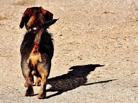 Rauhaardackel, Dog, Animal, Pet, Race, Pet Photography