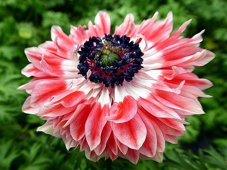 Flower, Anemone, Pink, Ranunculaceae, Petals, Stamens