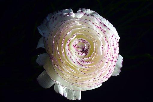 Ranunculus, Aisatischer Buttercup, Ranunculus Asiaticus