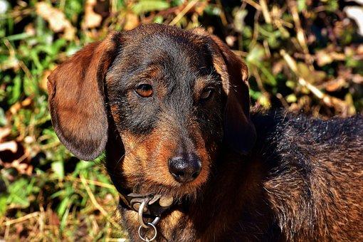 Rauhaardackel, Dog, Animal, Pet, Wildlife Photography