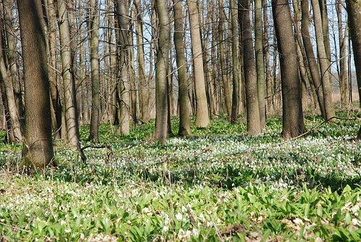 Spring Aspect, Floodplain Forest, Snowdrops, Snowdrop
