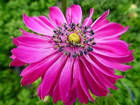 Anemone, Flower, Spring, Pink, Ranunculaceae