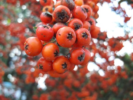 Wild Hawthorn, Red, Orange, Pink, Tree, Plant