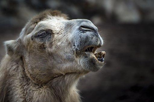 Camel, Animal, Tooth, Zahnreinigung, Fur, Desert Ship