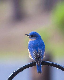 Bird, Bluebird, Bluebird On Perch, Blue, Nature, Animal