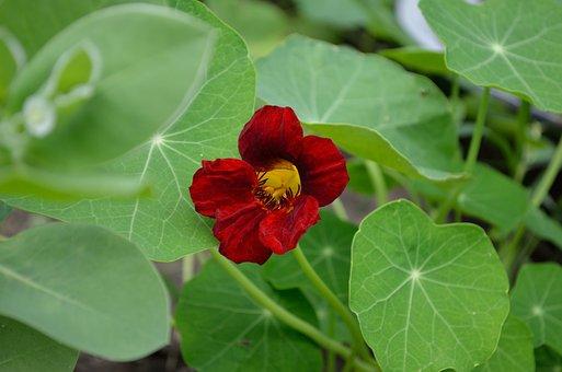 Nasturtium, Red Flower, Greens, Plant, Bright