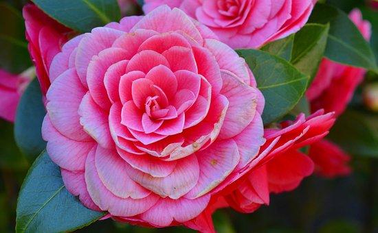 Camellia, Camelia Japonica, Bush, Flower, Blossom
