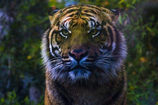 Tiger, Zoo, Biopark, Feline, Look, Capture, Nature