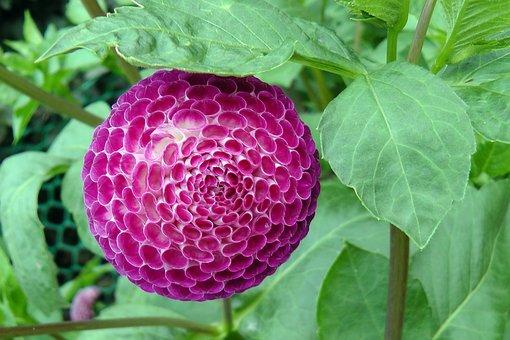Dahlia Ball, Flower, Bloom, Blossom, Floral, Garden