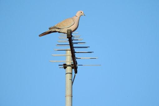 Pigeon, Streptopelia Decaocto, Dove
