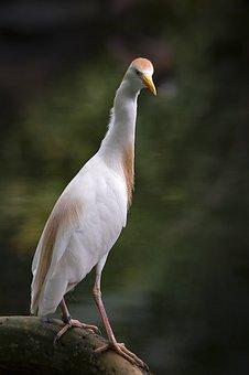 Heron, Cattle Egret, Bird, Bill, Zoo, Eastern, White