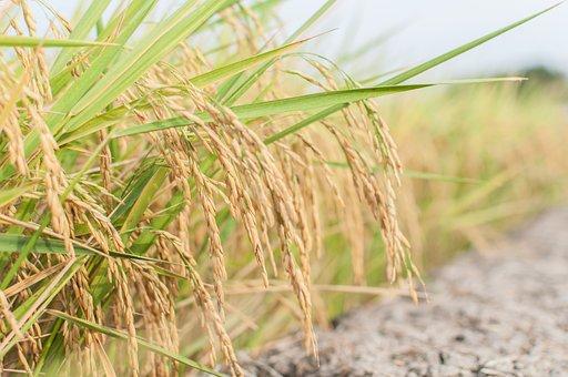 Rice, Farming, Farmer, Thailand, Farmland, Agriculture