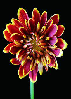 Chrysanthemum, Red, Yellow, Maroon, Floral, Flower