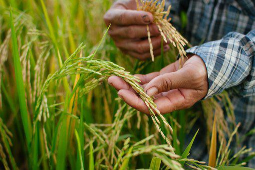 Rice, Nature, Food, Plant, Thailand, Agriculture, Hands