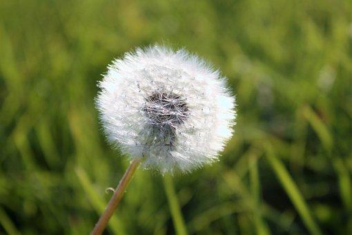 Dandelion, Grass, Supervisors, Meadow, Green