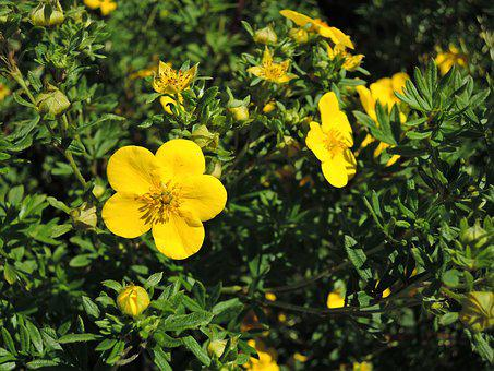 Flower, Kuril Tea, Summer, Yellow, Green, Plant