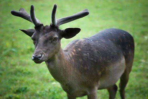 Animal, Sarna, Hart, Cuckold, Hunting
