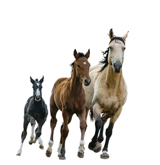 Horses, Mare, Foals, Isolated, Cutout, Colt, Running
