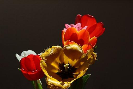 Tulips, Tulipa, Lily, Liliaceae, Yellow
