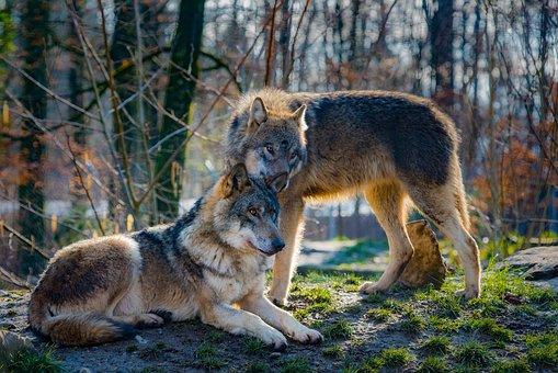 Wolves, Love, Animal, Attention, Mammal, Predator