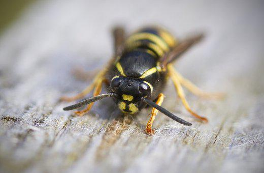 Wasp, Macro, Insect, Striped, Sting, Nature, Stinger