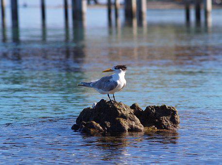 Bird, Marin, Animal, Nature, Sea, Water, Sterne Huppee