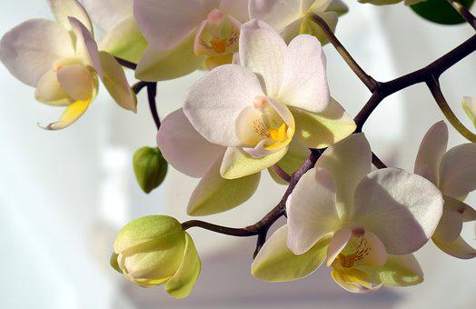 Orchid, White, White Orchid, Flower, Blossom, Bloom