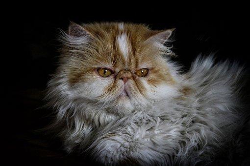 Cat, Persian, Persian Cat, Pet, Animal